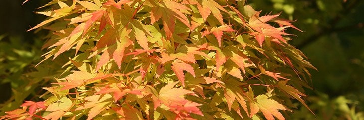 Gardening Features From Crocuscouk Japanese Maples