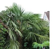 Chusan palm - Trachycarpus fortunei