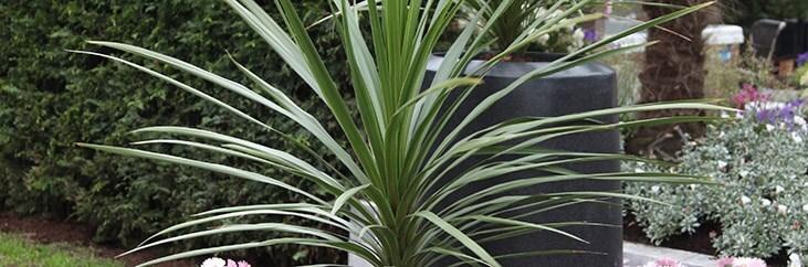 Cabbage tree - Cordyline australis