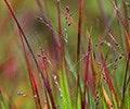 Ornamental grassses