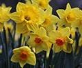 September 2017 - Daffodils
