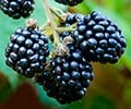'Easy-peasy' blackberries