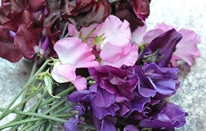 Fragrant sweet pea collections