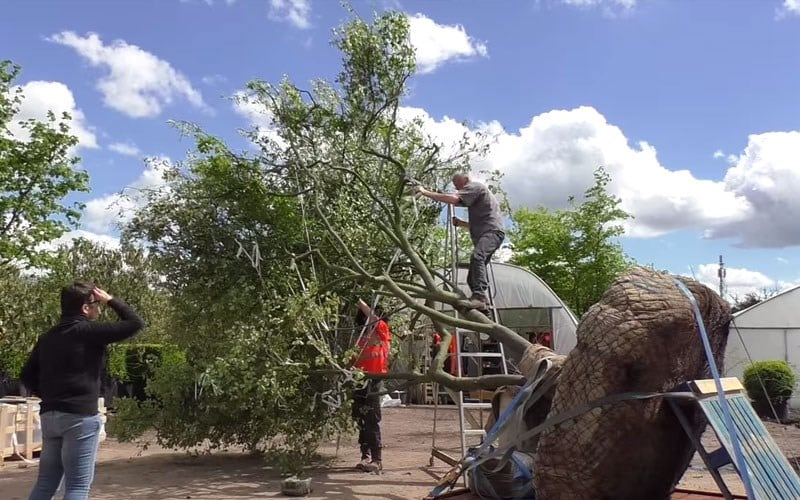 Luciano's Tree arrives at the Chelsea Flower Show