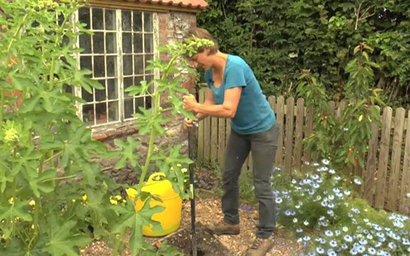 How To: Grow straight parsnips