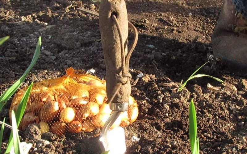 How to plant onion sets