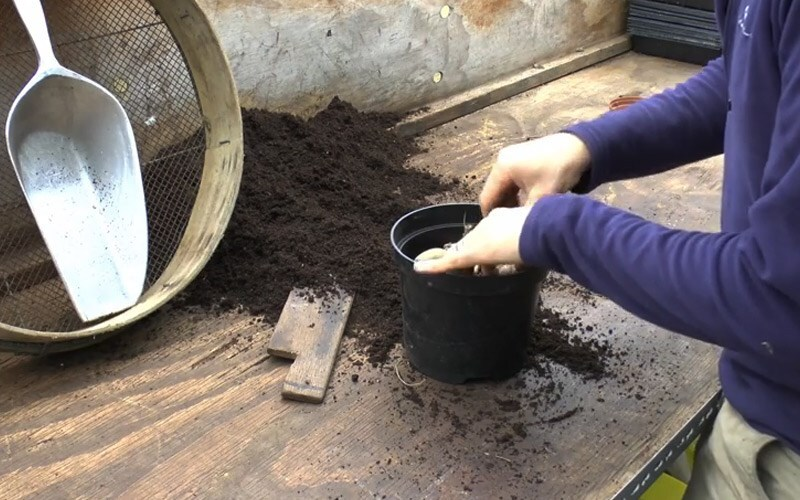 Pot up dahlia tubers