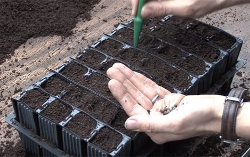 How-to: sow sweet peas
