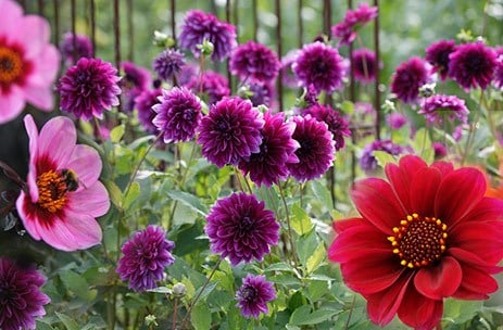 The Highgrove Dahlia Collection