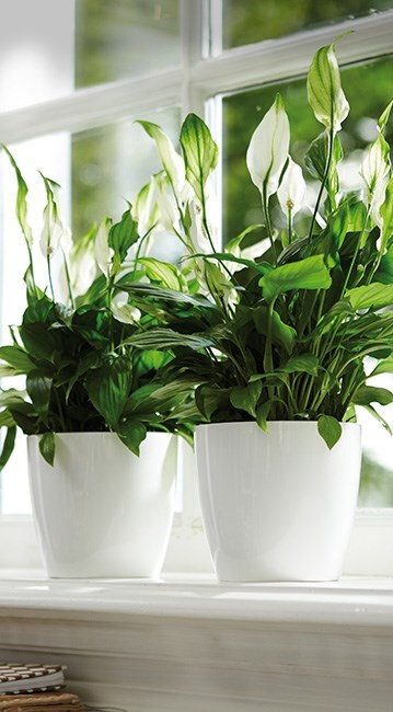 Spathiphyllum & pot cover combination
