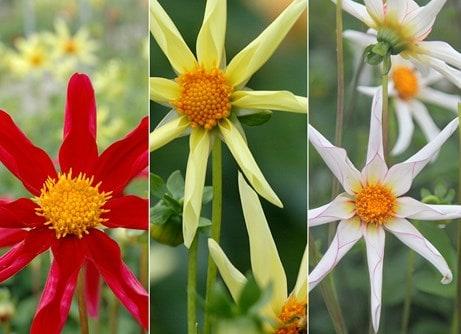 Star-like dahlia collection