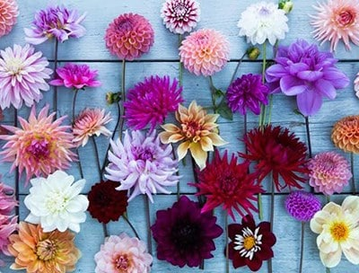 Dahlias for the cut flower garden