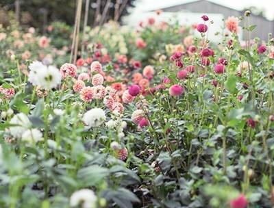 Growing an Annual Cut Flower Garden