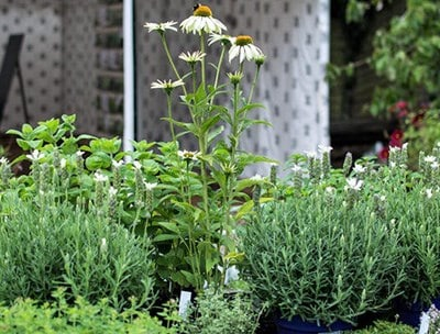 Growing Culinary and Medicinal Herbs