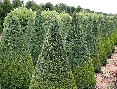 Pruning Shrubs and Fruit Trees