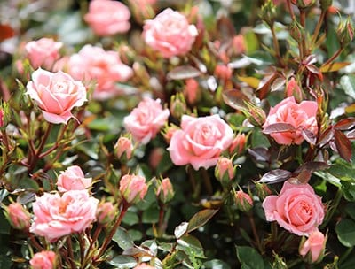 How to grow and care for Roses talk