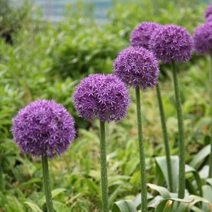 Add Alliums for a pop of colour