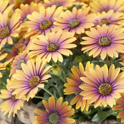 Bedding plants for seasonal displays