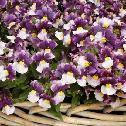 Bedding plants for seasonal displays