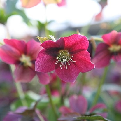 Selected Hellebores