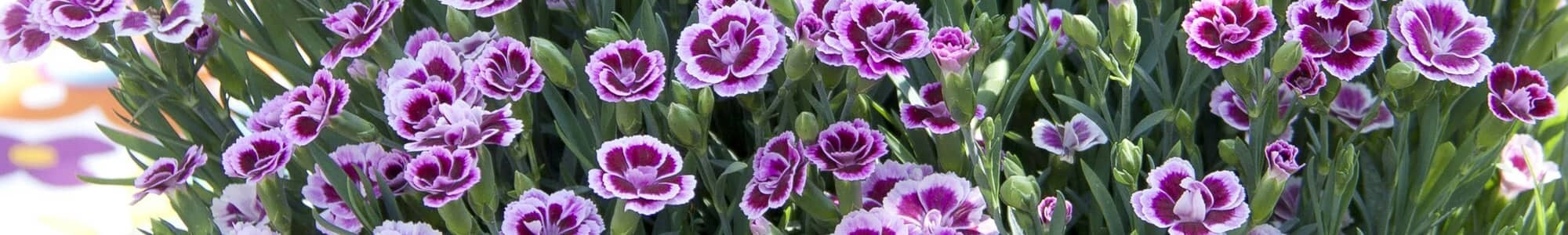 Bedding plants from £5.99