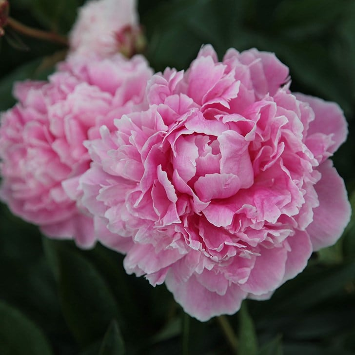 Pretty peonie blooms