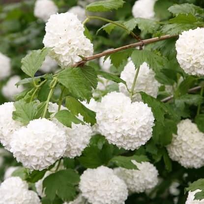 Summer flowering shrubs & climbers