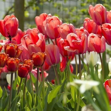 Tremendous tulips