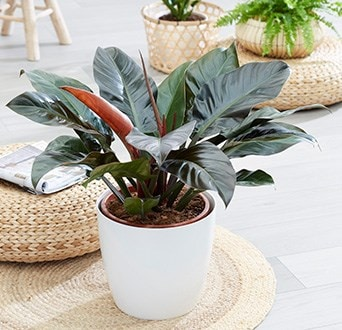 Indoor plants for a conversvatory