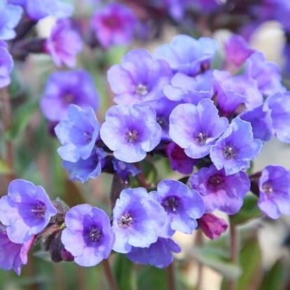 Perennials