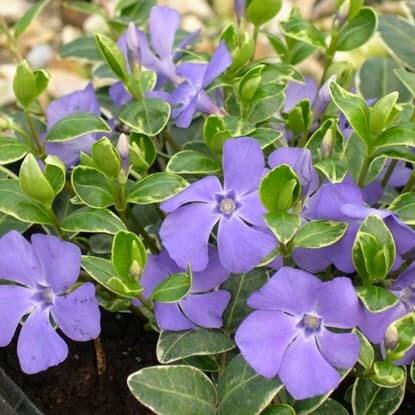Early flowering shrubs & climbers