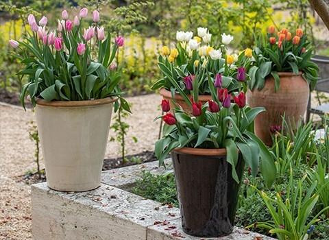 Crocus Collection   Outdoor Pots