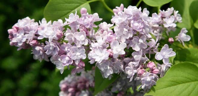 Scented plants