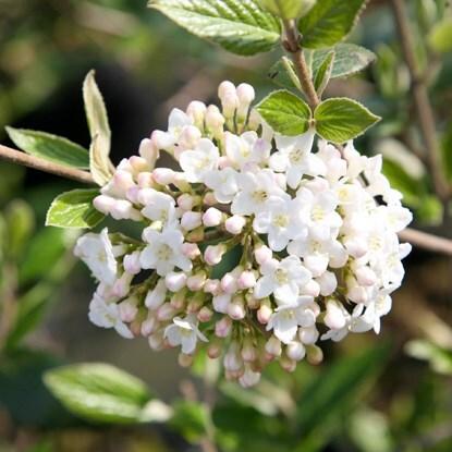 Specimen shrubs