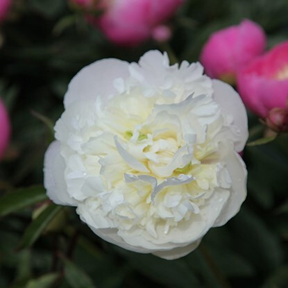 Paeonia lactiflora 'Duchesse de Nemours'