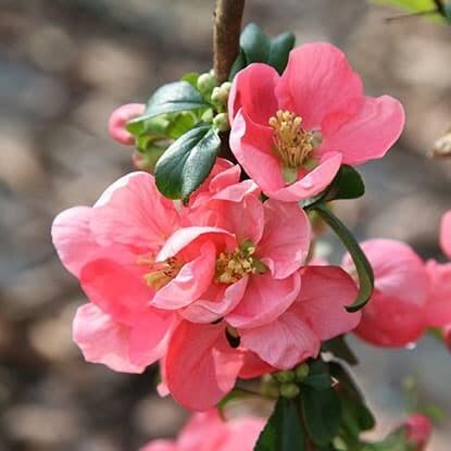 Chaenomeles × superba 'Pink Lady'
