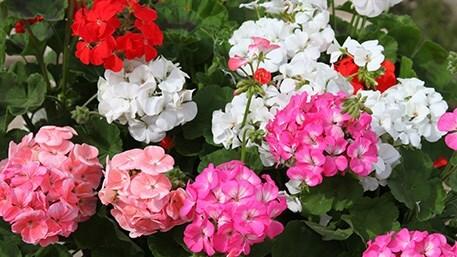 summer-flowering bedding