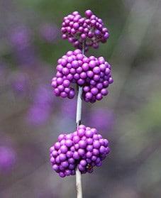 Plant A Berry Bearing Shrubs Waitrose Garden