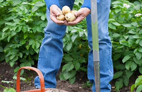 Rules of engagement when growing new potatoes