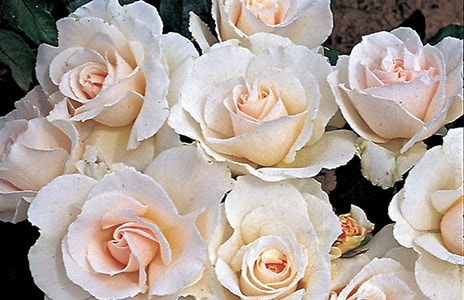 Where to prune you roses