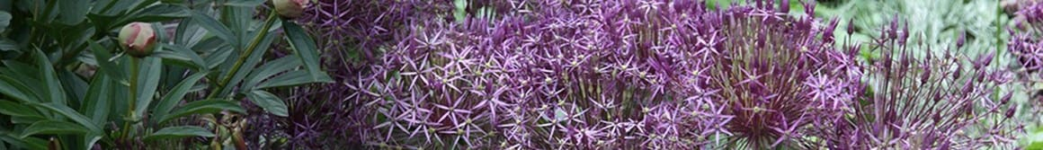 Selected alliums