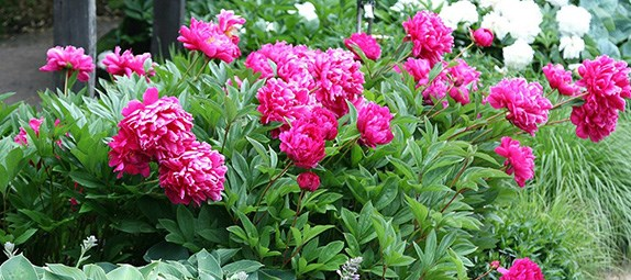 Pick your peonies