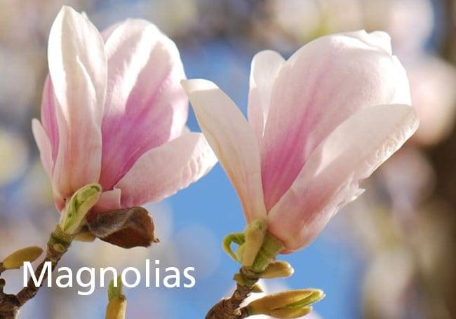 Gardening Features From Crocuscouk April 2015 Magnolias