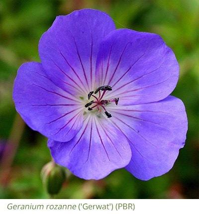 Geranium rozanne ('Gerwat') (PBR)