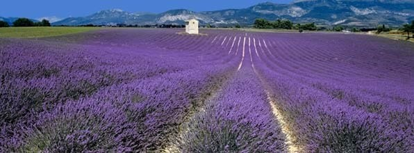 picture of lavender growing in provence France