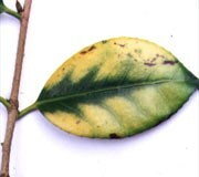 Lime-induced chlorosis