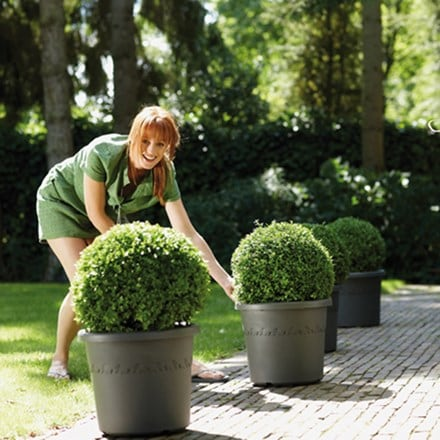 Buxus and patio pot combination