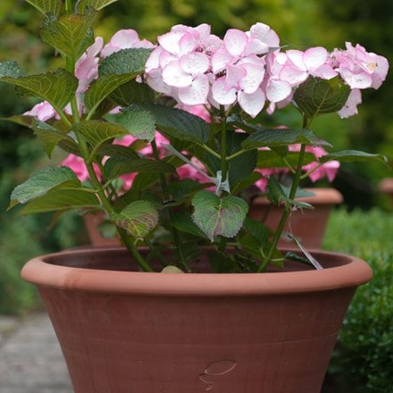 Hydrangea and arc pot combination