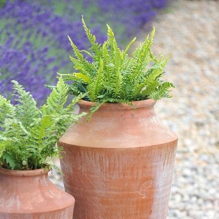 Blechnum spicant and large oil planter combination