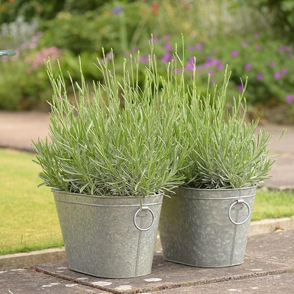 Lavender Hidcote & trough combination